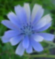 chicory_blue.jpg