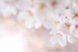 cherry-blossom_00036.jpg