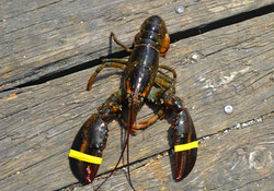 A photo of a live lobster on a dock