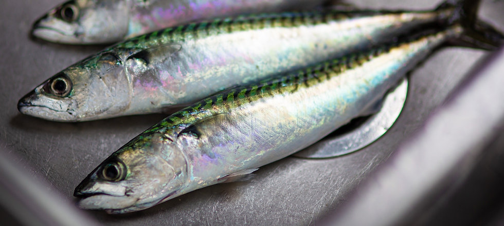 Atlantic Mackerel laid across a sink