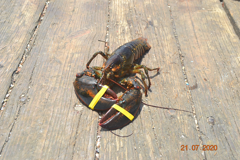 This is a picture of a live cold water lobster