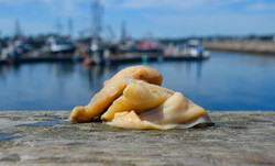 Surf Clam sitting on the dock
