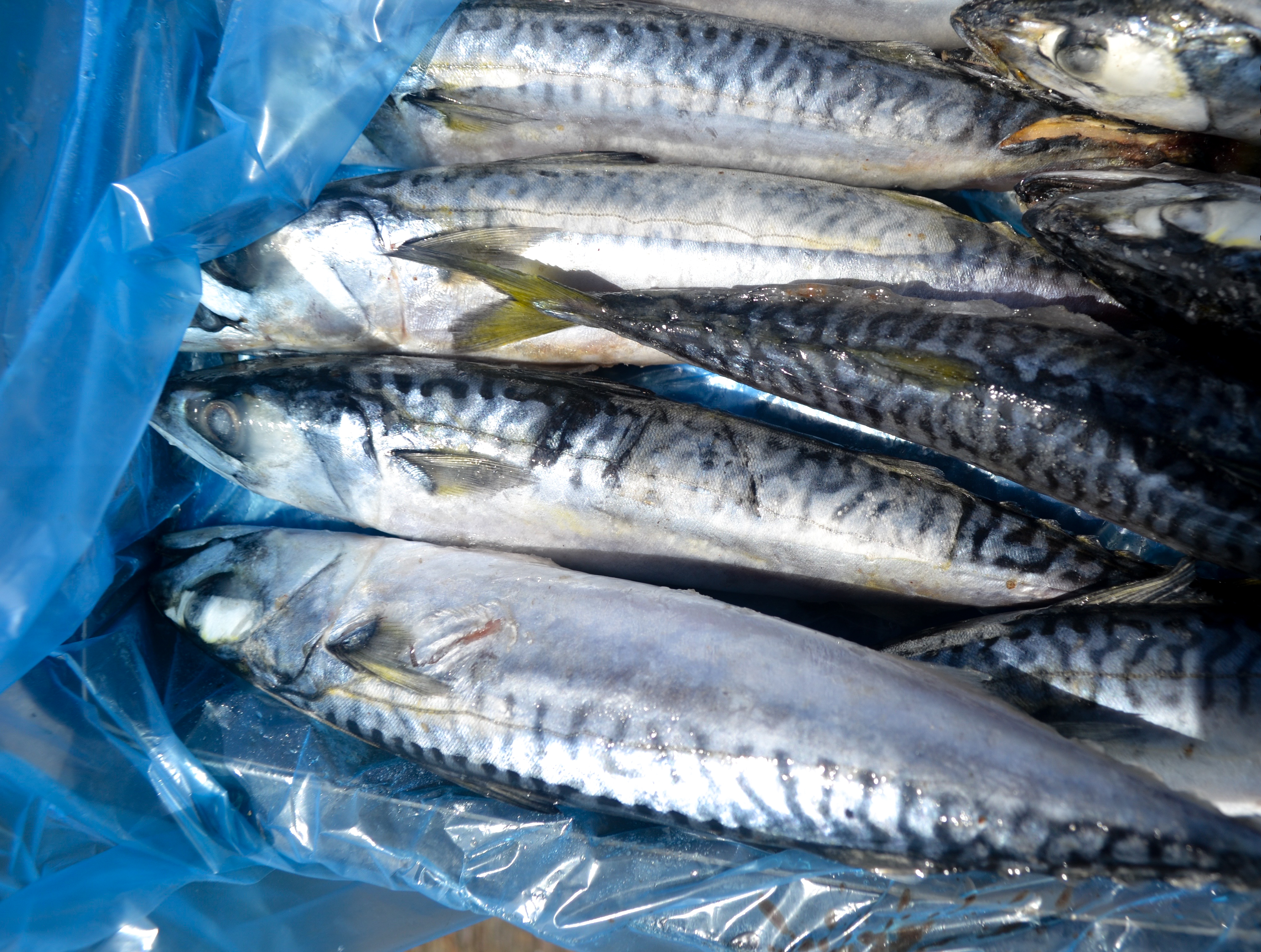 Atlantic Mackerel in a frozen block