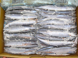 Pacific saury hand laid in a box