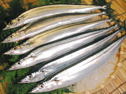 Pacific saury laid out on a table