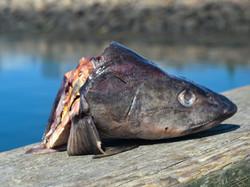 Black Cod head sitting on a dock