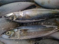 Colias mackerel food grade