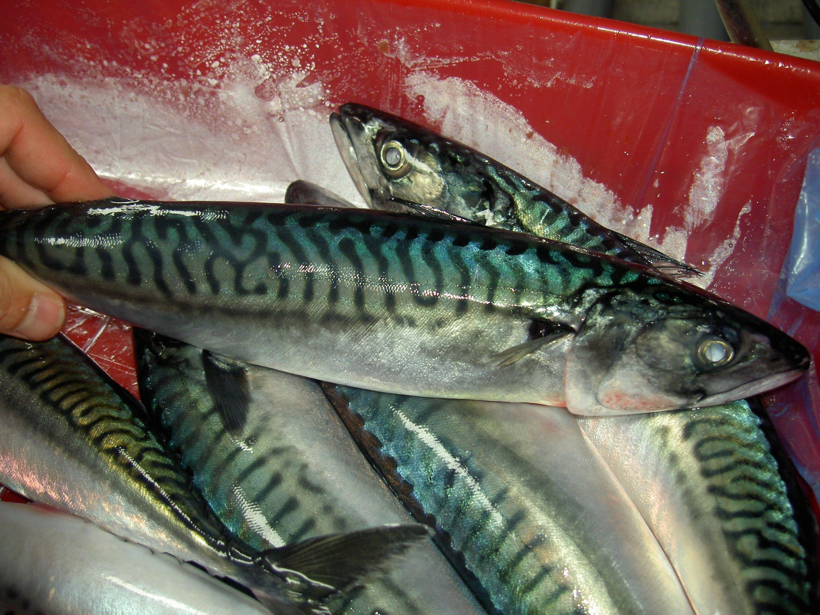 Atlantic Mackerel before freezing