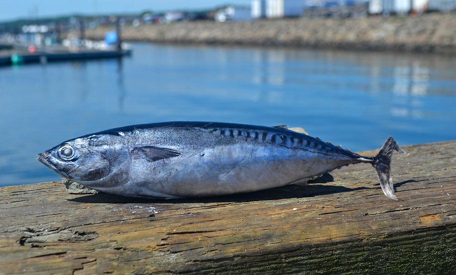 A photo of a bullet mackerel on a dock.