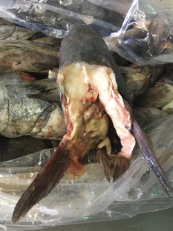 black cod head sitting in a frozen block