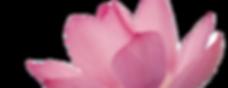 Pink%20Flower%20Petals_edited.png