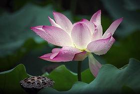 Canva - Lotus Flower in Nature.jpg