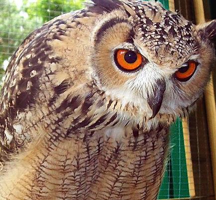 Bengal Eagle Owl
