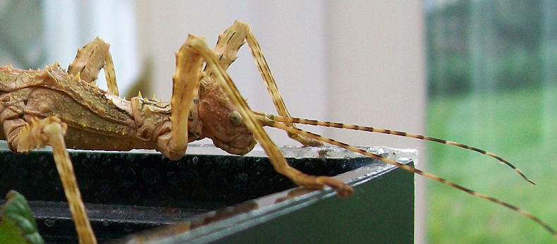 Close up of a Spiny Stick Insect