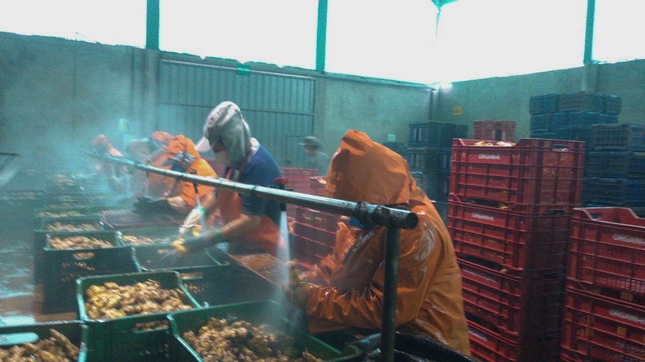 AA Organic Ginger Workers