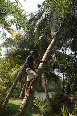 Our own coconut lopper