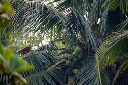 Mandalay monkeys