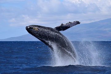 Humpback whale breach during Maui's whal