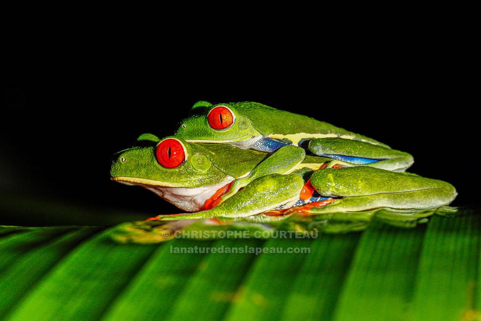 Rainettes aux yeux rouges, Costa Rica