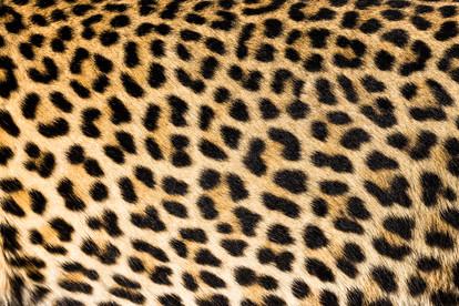 Léopard. Afrique du sud