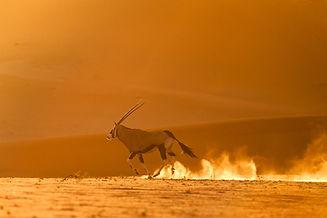 Oryx devant des dunes du Namib dans la poussière au soleil couchant