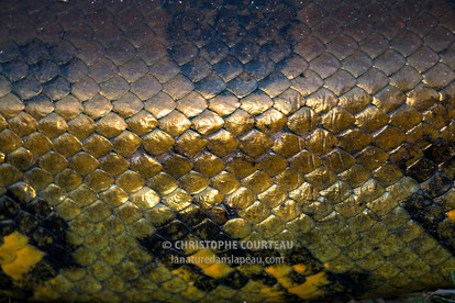 Anaconda jaune, Venezuela