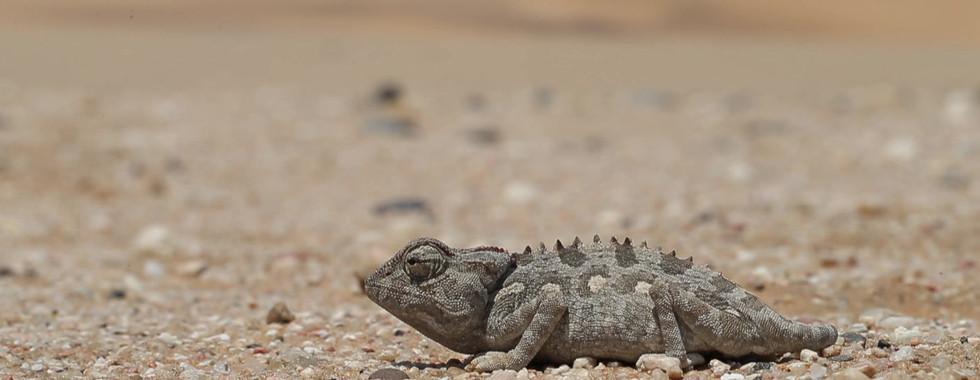 Caméméon du désert