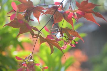 Japanese Maple.jpg