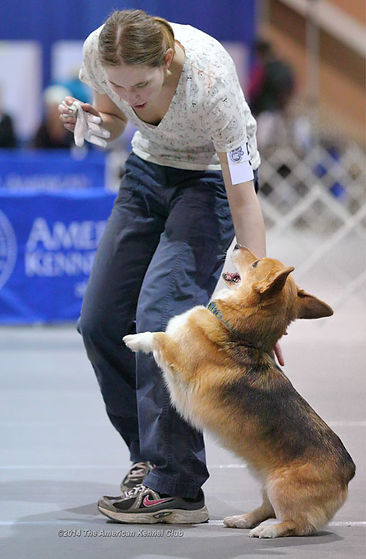corg obedience NOC happy engagement