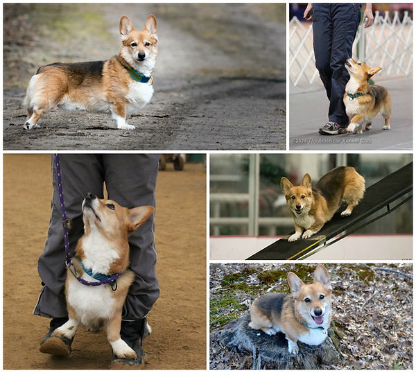 corgi dog sports