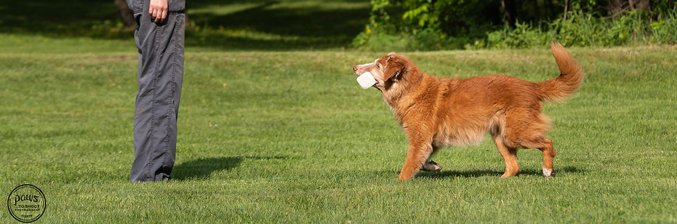 toller retrieve obedience