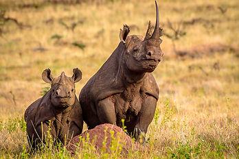 Le Rhinocéros Noir