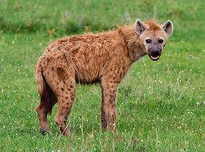 La hyène tachetée.