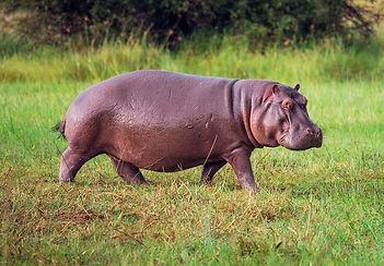 Hippopotame en marche
