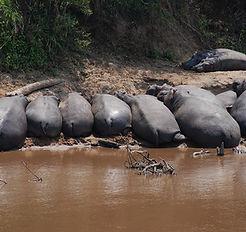 Hippopotames au repos
