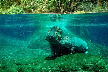 Hippopotames sous l'eau