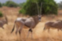 L'Oryx.
