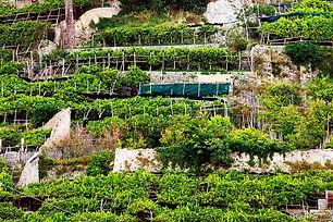 Citronniers en terrasses