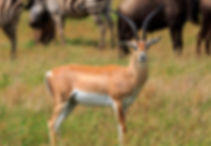 La gazelle de Grant.
