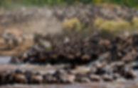 La migration des gnous.