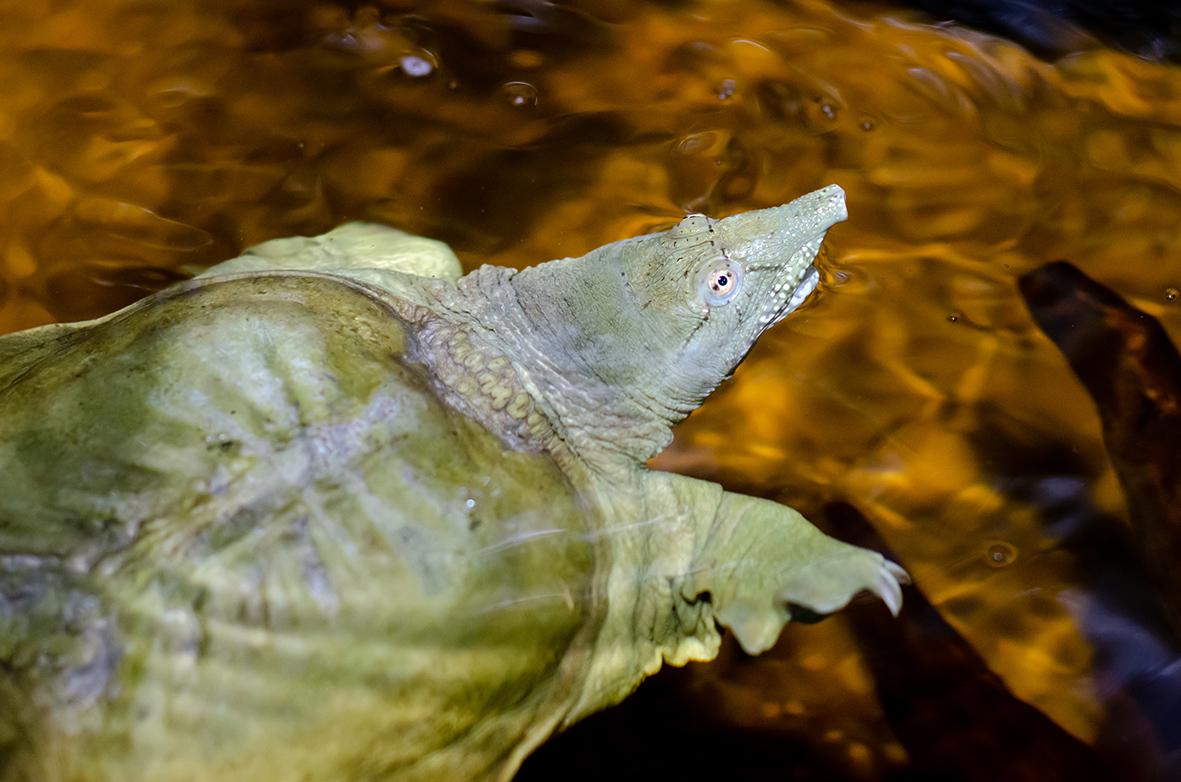La tortue géante asiatique au Cambodge