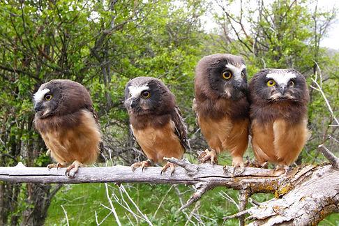 Saw-whet-Owl-photo-1024x682.jpg