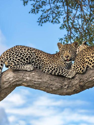 motswari-game-lodge-wildlife-leopards-18