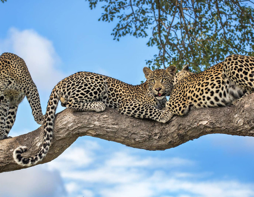 motswari-game-lodge-wildlife-leopards-18