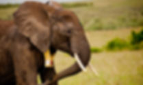 Thumbnail-Elephant.jpg