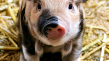 "An Open Letter to St. Patrick Parish Addressing ""Pig Rassle"""