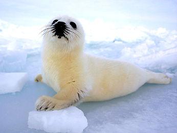 animals for clothing, fur, fur coats, Canadian seal hunt, leather, snake skin
