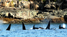 Why Seeing Orcas in the Wild Will both Fill and Break Your Heart