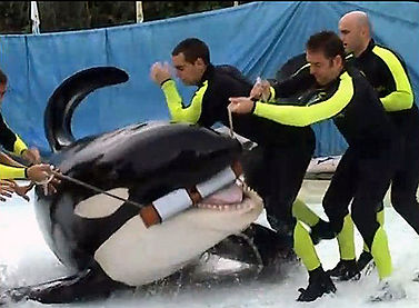 marine mammals in captivity, seaworld sucks, empty the tanks, orcas in captivity, taiji dolphin slaughter
