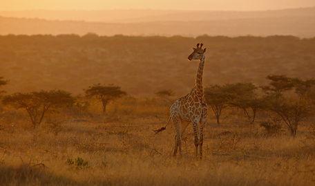 Giraffe, EvMjpg